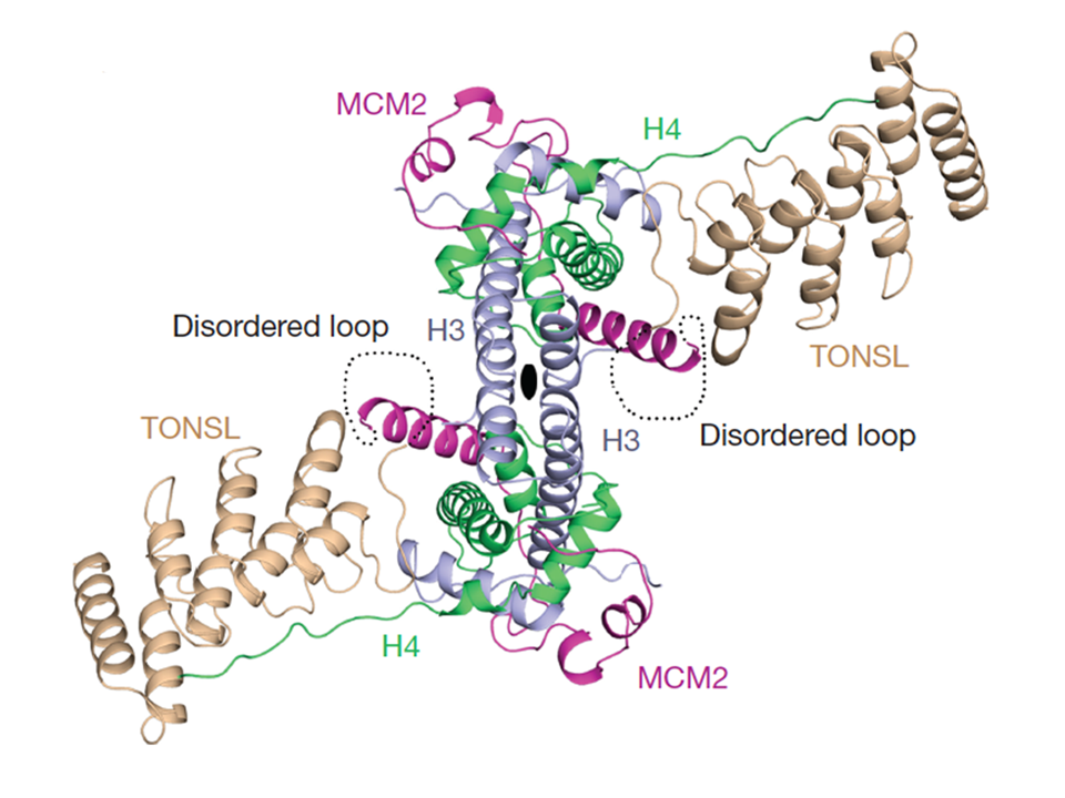 Identification of post-replicative chromatin by a histone H4K20me0 reader protein