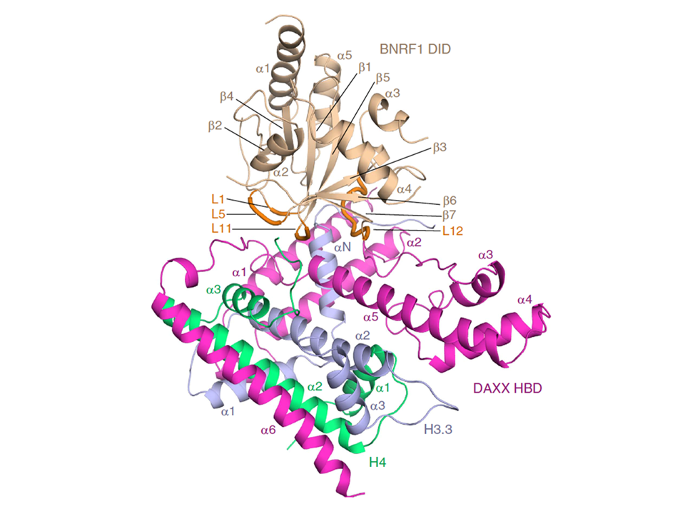Structural Basis Underlying Viral Hijacking of a Histone Chaperone Complex