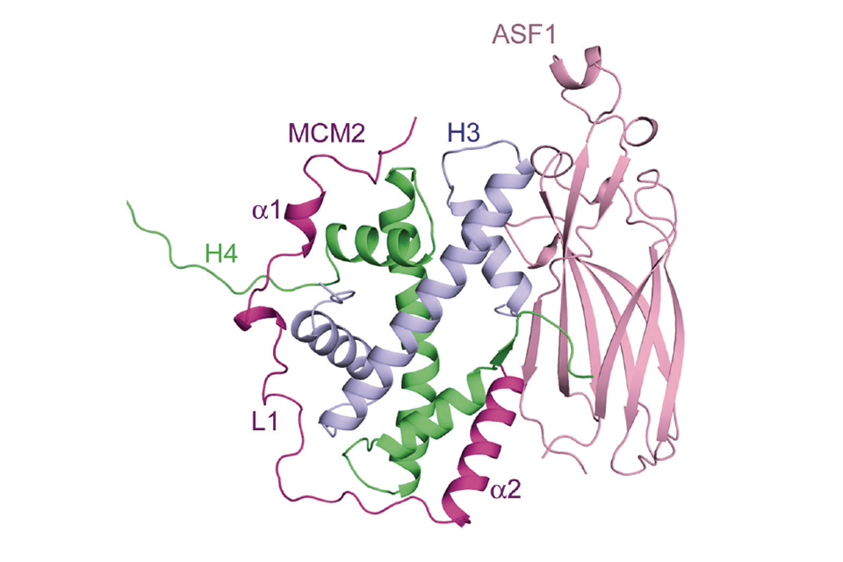 A unique binding mode enables MCM2 and ASF1to chaperone histones H3-H4 at the replication fork