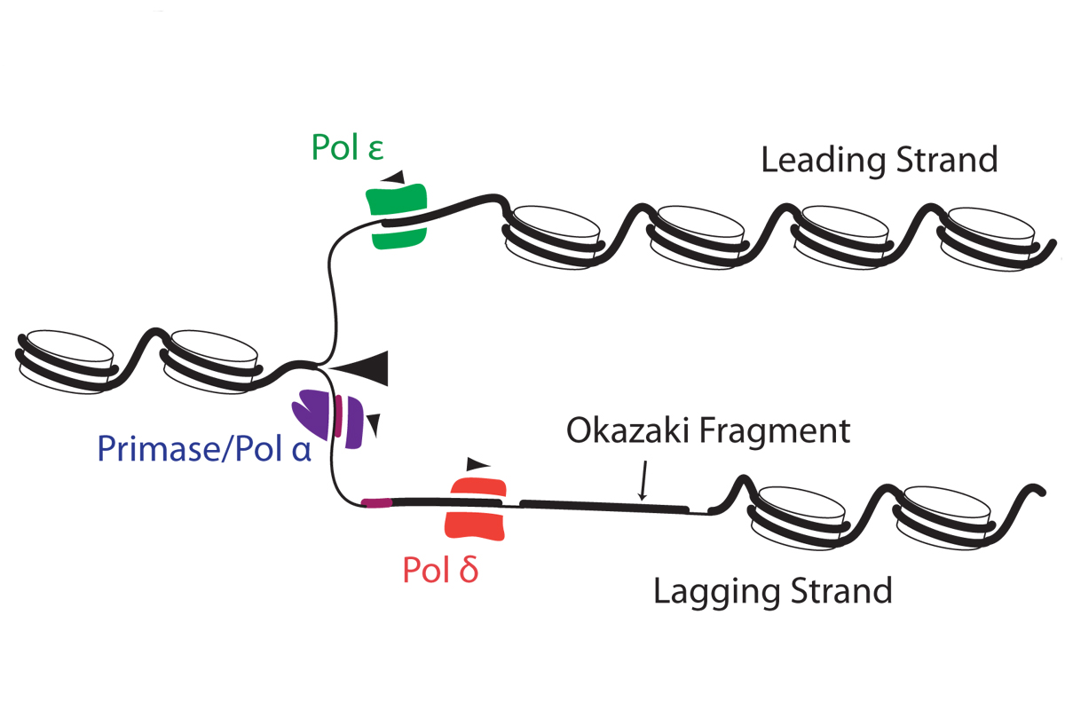 Figure 3: DNA replication