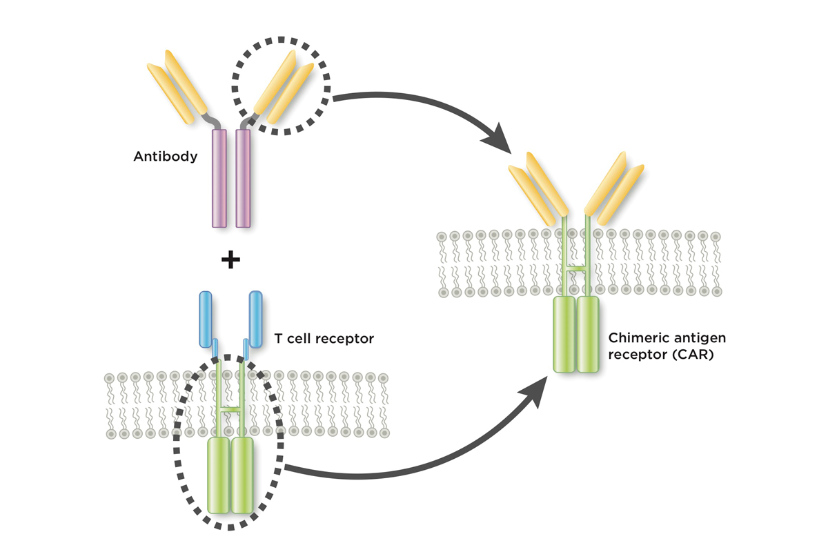 A chimeric antigen receptor joins together part of an antibody and part of a T cell receptor.