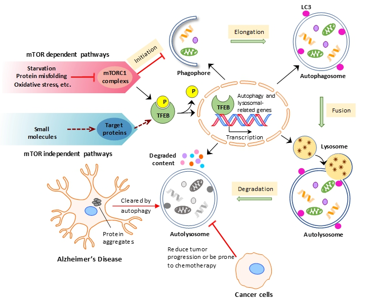 Autophagic modulators as a therapy for Alzheimer's disease and Cancer
