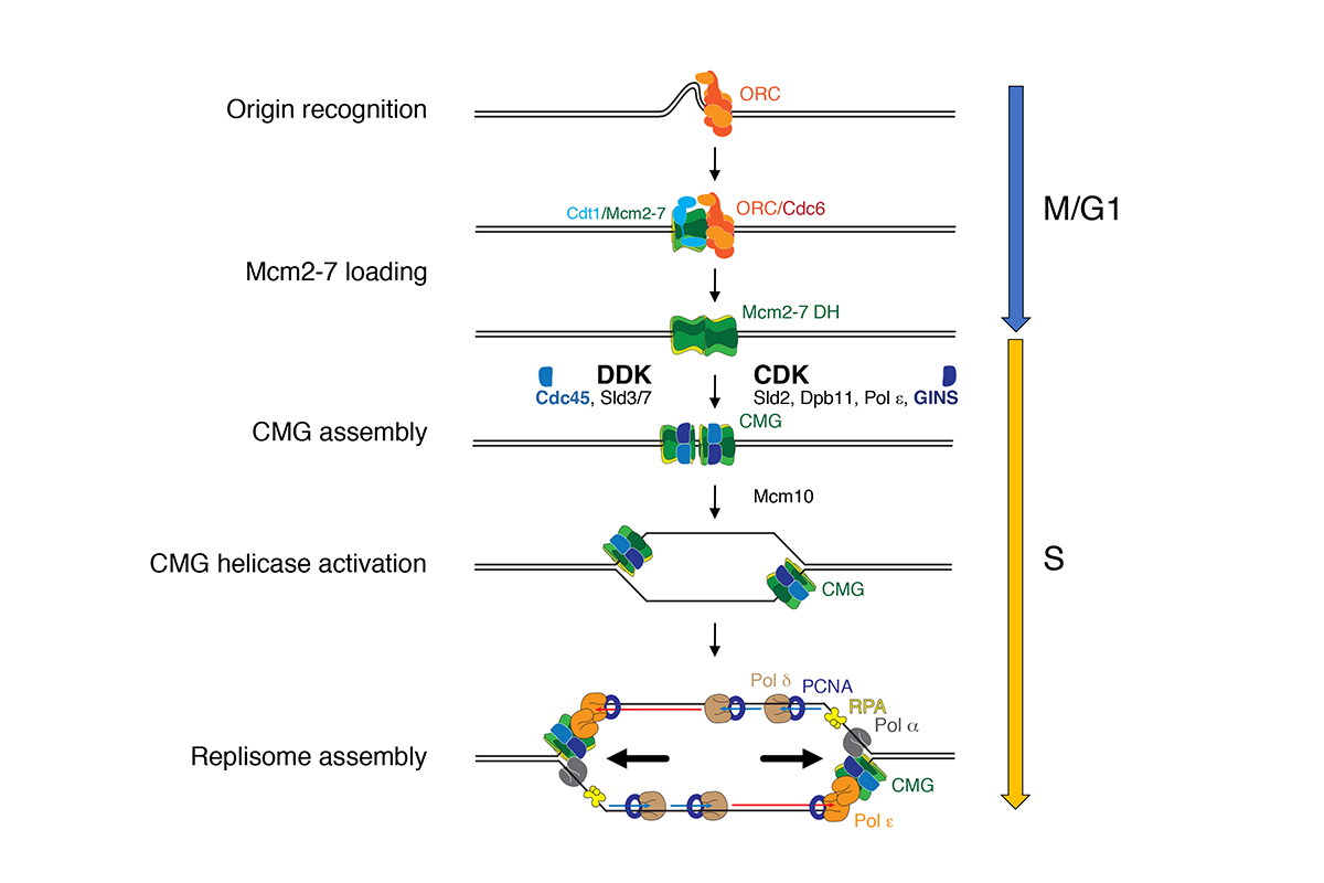 Figure 1: Mechanism of DNA replication in eukaryotes.