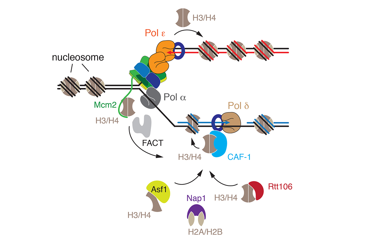 Figure 4: Replication-coupled chromatin assembly.