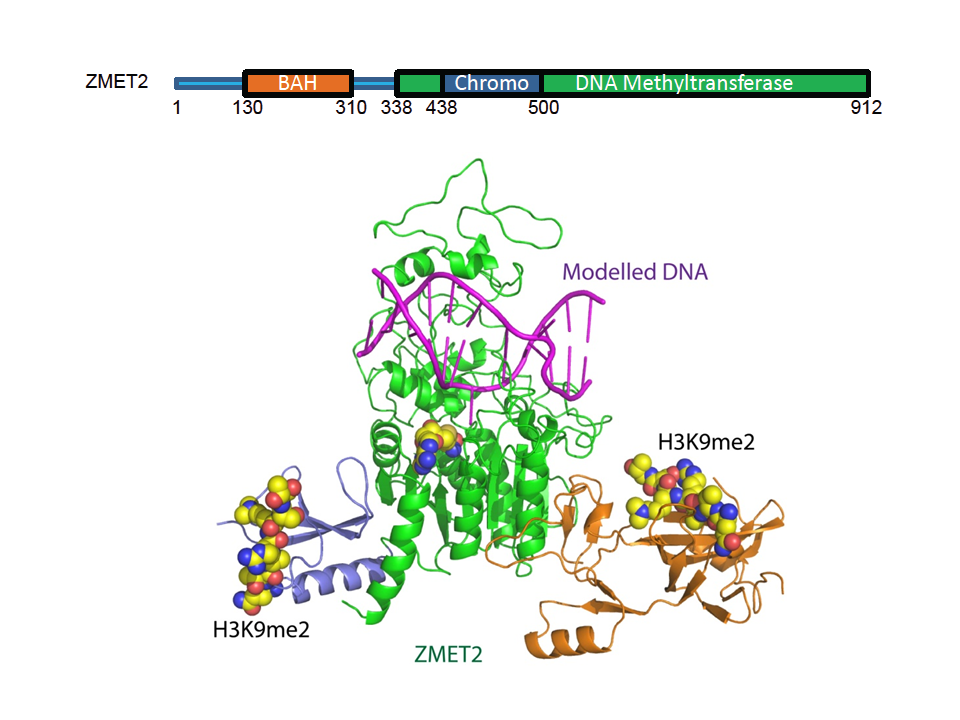 Dual Binding of Chromomethylase Domains to H3K9me2-containing Nucleosomes Mediates DNA Methylation in Plants