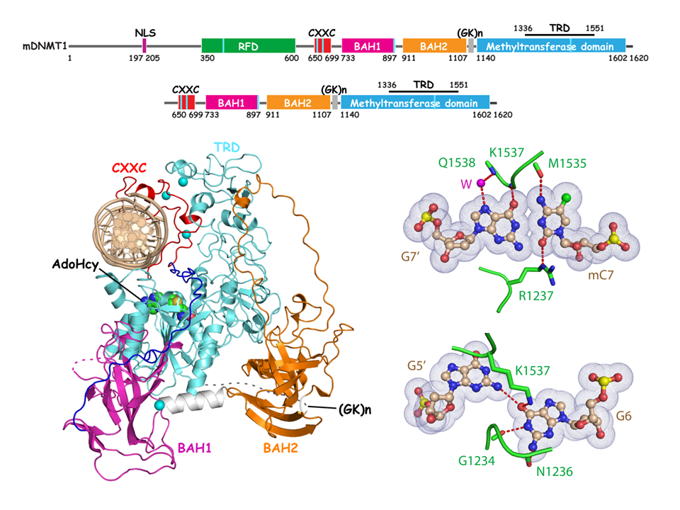 Autoinhibitory Complex Formed at CpG sites in DNMT1-mediated Maintenance DNA Methylation