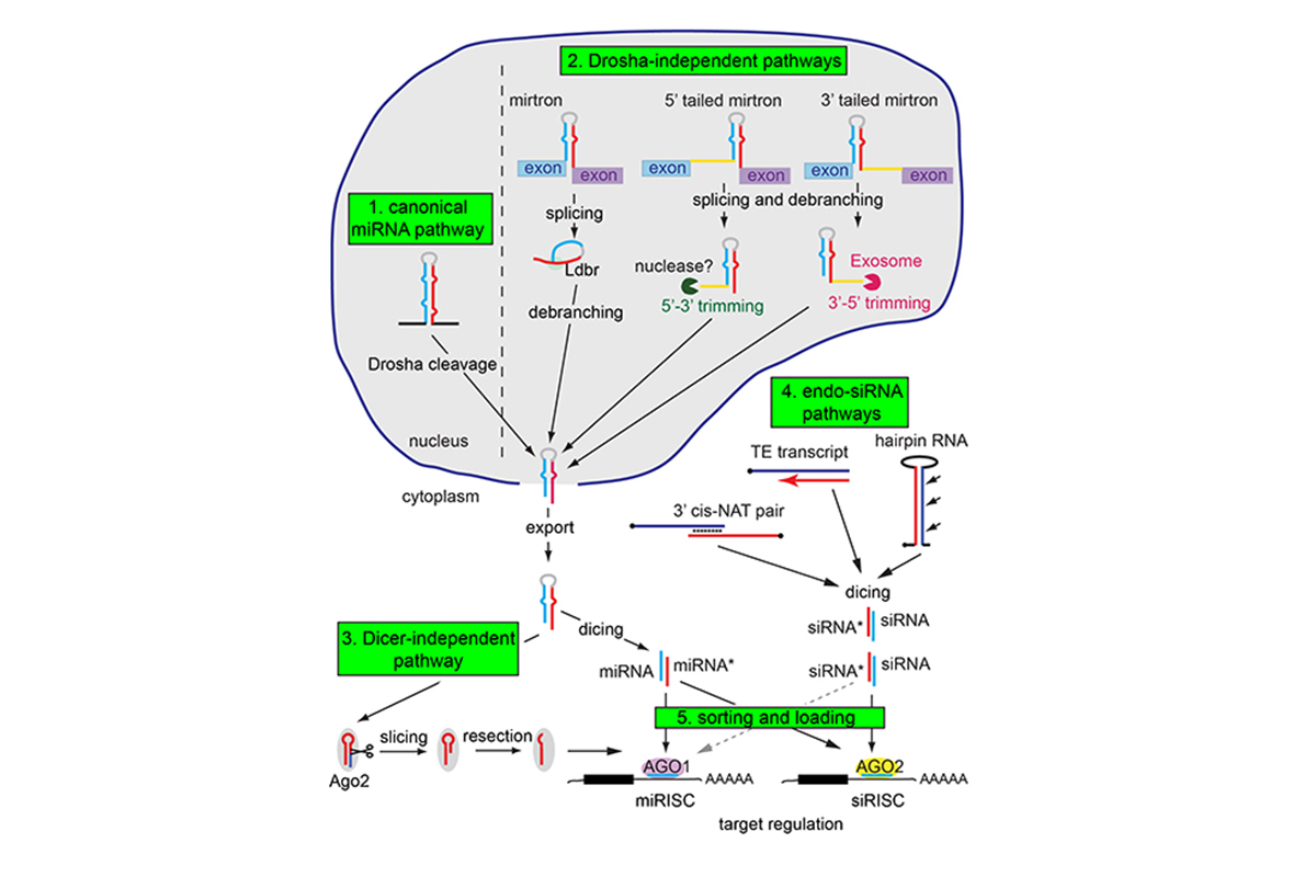 Figure 1. Complexity of small RNA processing and loading pathways. This schematic includes the canonical Drosha-Dicer-Ago miRNA pathway, but includes also a variety of alternative miRNA biogenesis pathways, including Drosha-independent and Dicer-independent strategies. Moreover, the existence of endo-siRNA pathways in species such as Drosophila necessitates strict loading pathways to ensure that different Argonaute effector proteins associate with appropriate small RNAs.