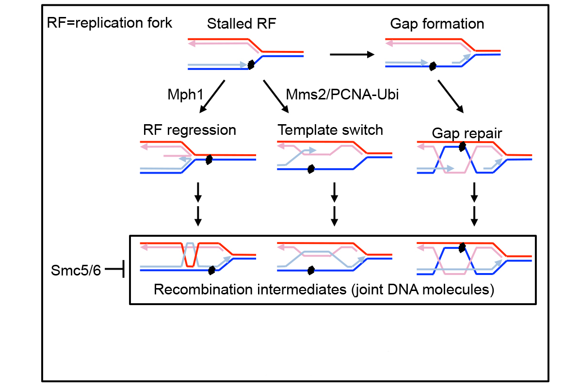 Figure 2 -- A model for Smc5/6-mediated regulation of three recombinational repair pathways that allow replication completion when template DNA is damaged. Details in Choi 2010.