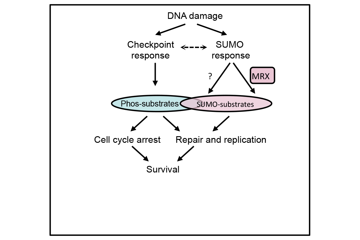 Figure 4 -- Extensive DDIS acts in parallel with the DNA damage checkpoint to promote DNA replication and repair.