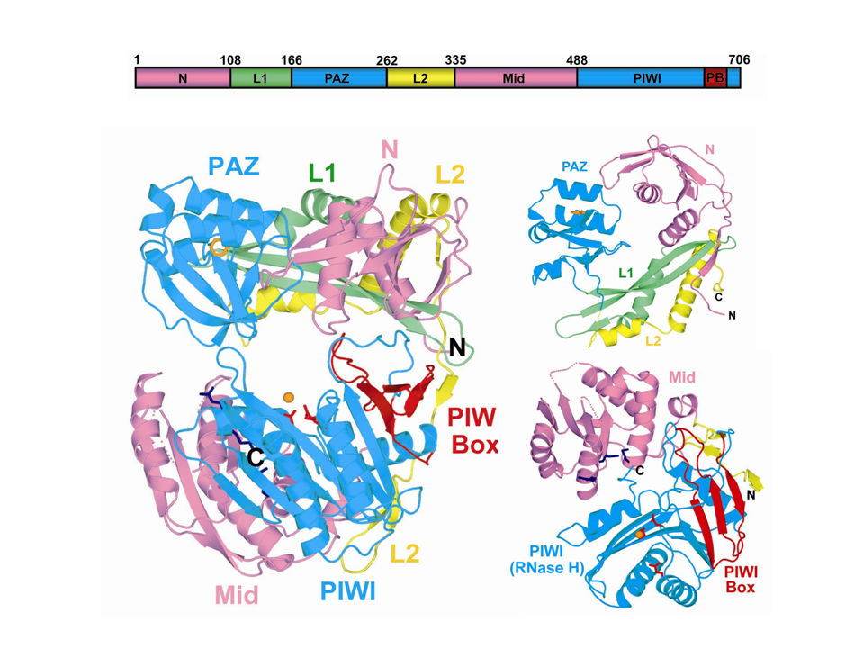 Eubacterial Argonautes are DNA Guide Strand-Mediated Site-Specific Endoribonucleases