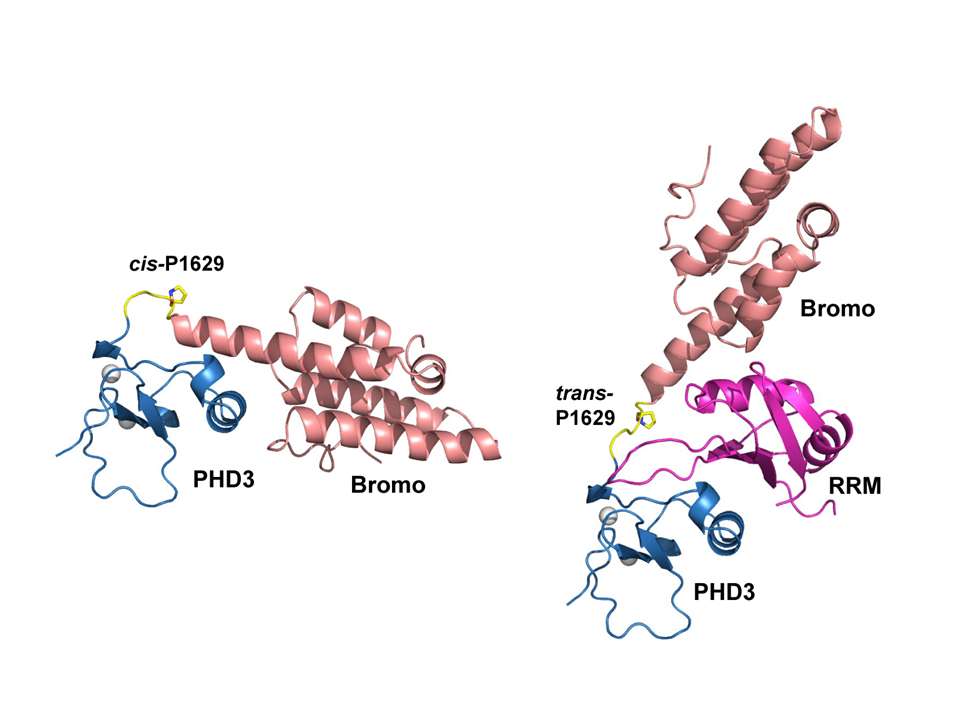 Pro Isomerization in MLL1 PHD3-Bromo Cassette Connects H3K4me Readout to Cyp33 and HDAC-Mediated Repression