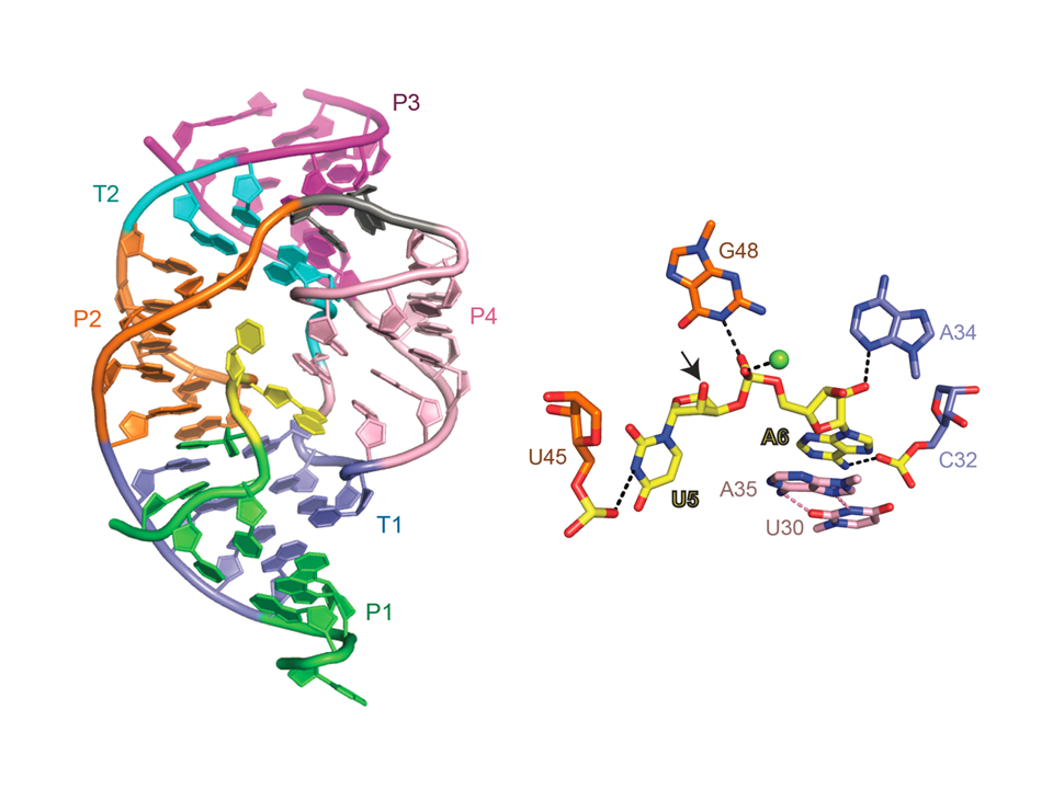 Cleavage site of the twister ribozyme