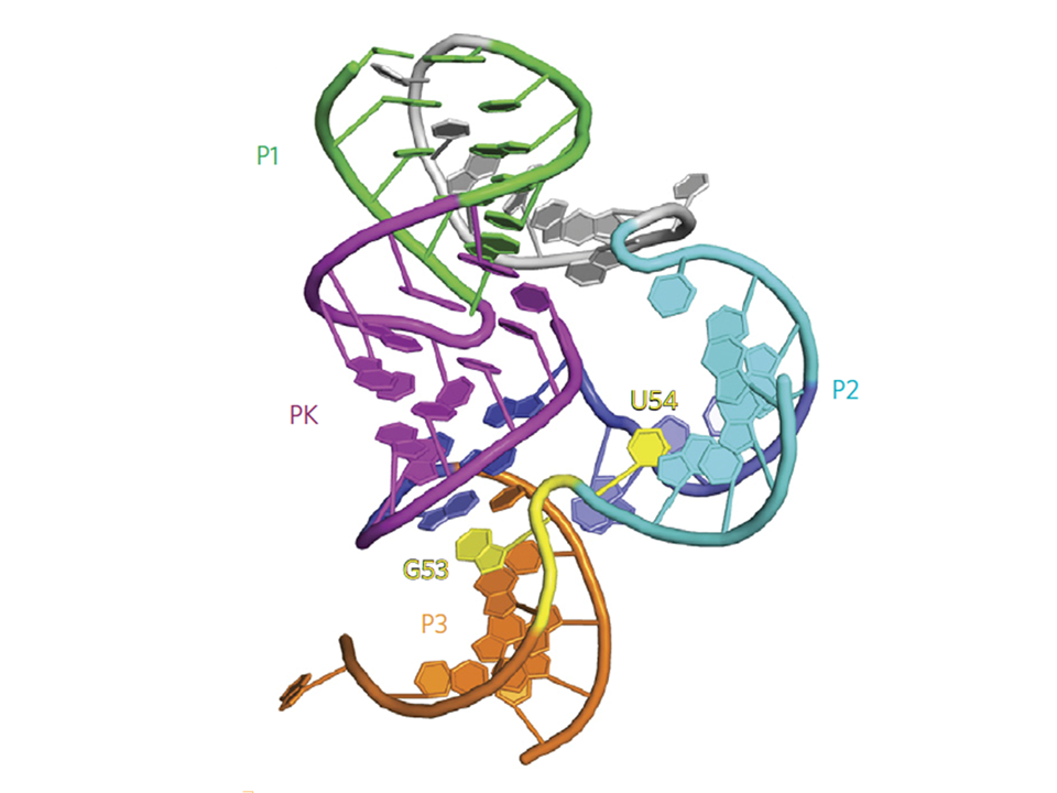 Pistol Ribozyme Adopts a Pseudoknot Fold Facilitating Site-specific In-line Cleavage