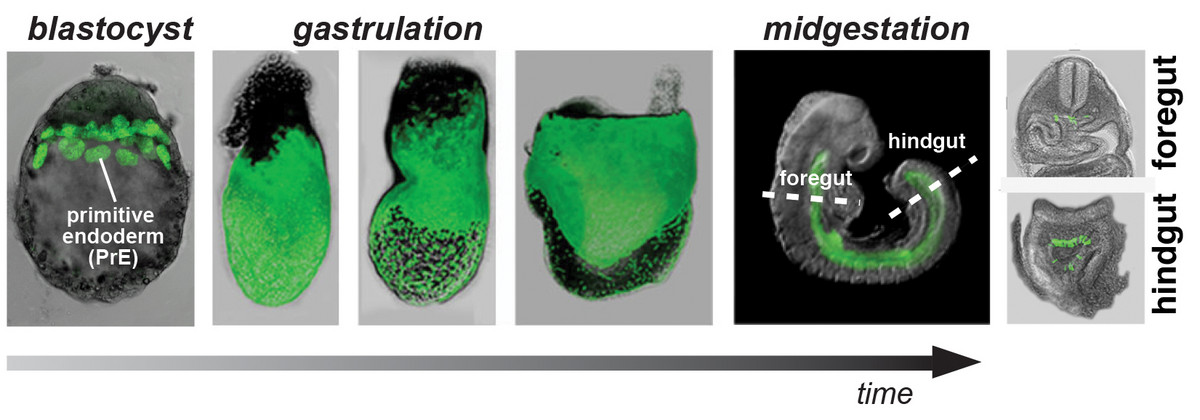 The primitive endoderm (PrE) contributes cellular descendants (labeled with GFP) to the gut endoderm of mouse embryo.