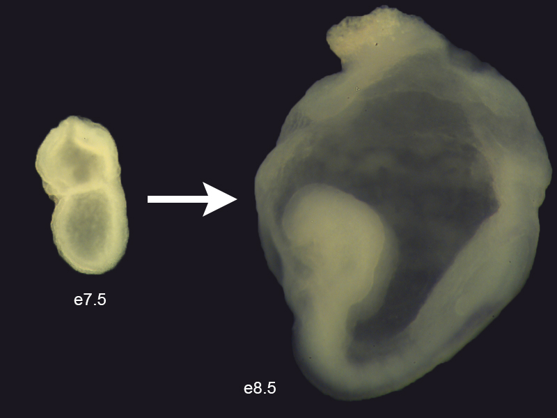 Mouse embryo between embryonic day 7.5 and 8.5.