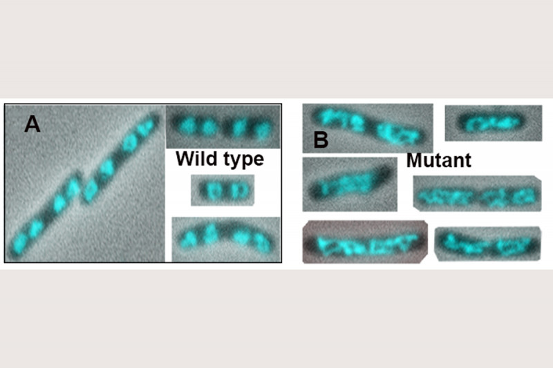 Fig. 7. Disruption of the MukB-Topo IV Interaction in vivo decondenses the nucleoids.  The wild-type and mukBtriple mutant strains were grown to mid-log phase in LB medium, stained with DAPI (cells were not fixed), spread on polylysine-coated slides, and imaged by wide-field fluorescence and phase contrast with a 100X objective.  A. Wild type.  B. Mutant.
