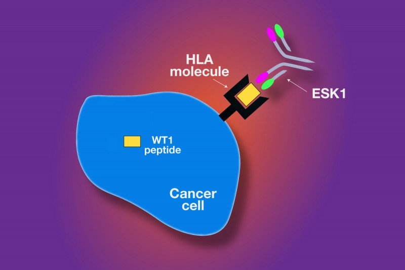 Pictured: ESK1 Monoclonal Antibody