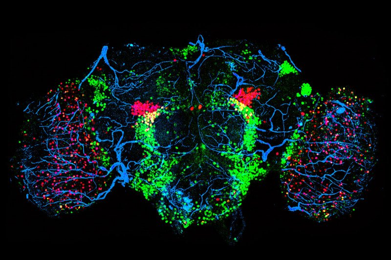 Confocal microscopy image of a female fruit fly brain.