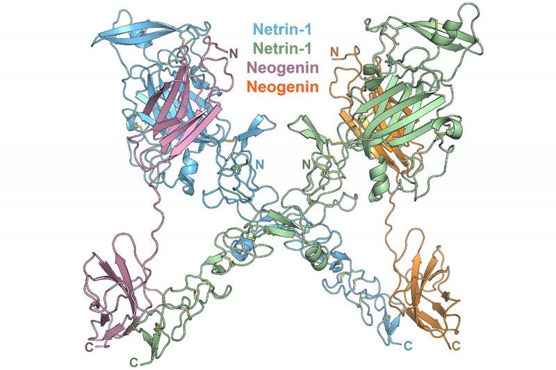 Structure of the Netrin-1/Neogenin complex