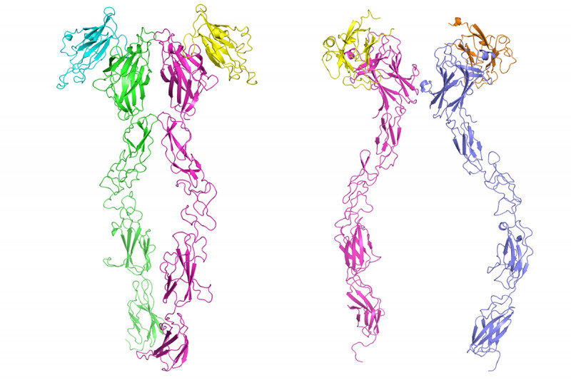 Structure of Eph/ephrin complexes