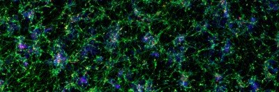 Cortical neurons derived from human pluripotent stem cells