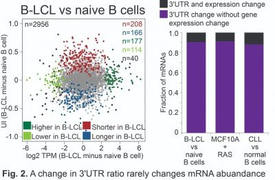 A change in 3'UTR ratio rarely changes mRNA abuandance
