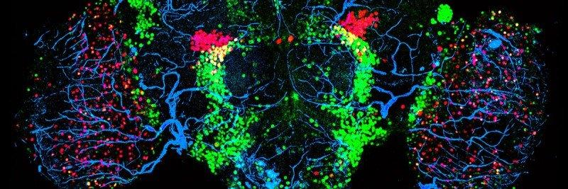 Confocal microscopy image of a female fruit fly brain.